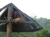Big male orangutan (Animal People Forum) Tags: rescue project indonesia wildlife palm borneo oil orangutan ape primate greatape rehabilitation palmoil wildliferehabilitation samboja lestari