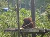 Orangutan playing with stick on artificial island (Animal People Forum) Tags: rescue project indonesia wildlife palm borneo oil orangutan ape primate greatape rehabilitation palmoil wildliferehabilitation samboja lestari