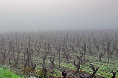 Thse-la-Romaine (Loir-et-Cher) (sybarite48) Tags: mist france fog nebel hill vine  sis colina nebbia  niebla brouillard vigne collina vite heuvel loiretcher nevoeiro videira hgel weinstock vid mga tepe   asma     coteau wzgrze   wijnstok winorol     thselaromaine