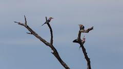 20151107_Savuti_0316.jpg (eLiL1860) Tags: bird birds botswana vögel vogel lilacbreastedroller gabelracke tierwelt safari2015
