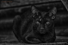 Black Cat (creazy_loverz) Tags: cat blw wildlife