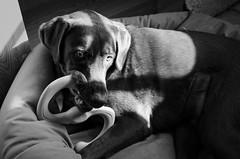 imminent destruction (fallsroad) Tags: blackandwhite bw dog lab chocolate servicedog labradorretriever hunter assistancedog serviceanimal assistanceanimal seizureresponsedog nikond7000 littledoglaughednoiret