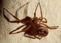 Noble False Widow spider (Allan Jones Photographer) Tags: noblefalsewidowspider falsewidow spider spidermacro macro offcameraflash allanjonesphotographer canon5d3 usm canonef100mmf28lmacroisusm lightsandshadows