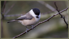 _6523 Willow Tit (Dave @ Catchlight Images) Tags: nature wildlife staffordshire birds bird willowtit canon