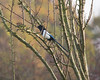 Magpie (Karen bullock photography) Tags: magpie chattering noisychattering picapica omnivore scavenger