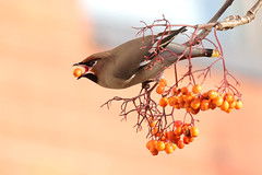 9P1A7499a Bohemian Waxwing (Moston Manchester) 2017 (Adrian Dancy) Tags: bird wildlife wildbird migrant berries nature moston manchester bohemianwaxwings waxwing winter feeding bohemianwaxwing