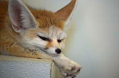 It's In the Ears (MTSOfan) Tags: fennecfox lvz educationanimal vulpeszerda nocturnal mammal