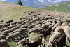 Troupeau aux environs de Besse-en-Oisans et du plateau d'Emparis (pascalchantier) Tags: mouton troupeau montagne alpes oisans besseenoisans plateaudemparis emparis