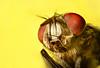 Moscarda (Ángel López G.) Tags: macro mosca closeup detail nikon macrofotografía eyes bichos insect macrophotography