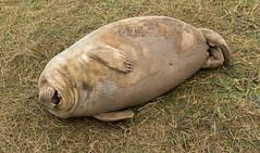 Donna Nook Grey Seals (oddlegs) Tags: donnanook england unitedkingdom greyseals