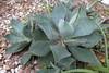 Agave guadalajarana 1 (scott.zona) Tags: agavaceae asparagaceae