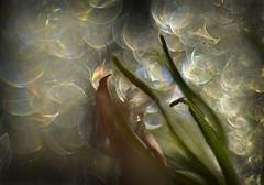 abundant (pete ware) Tags: ice lavender deadleaf macro brightsunlightonice bokeh peteware afnikkor50mmf18d extensiontubes