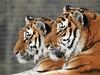 Double Trouble. (Sharon B Mott) Tags: amurtigers tigers savethetigers bigcats cats preditors carnivours awesome animals yorkshirewildlifepark
