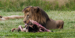 SteakHouse in Africa ! (Renzo Ottaviano) Tags: south africa renzo lorenzo ottaviano lion