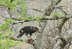 Crowned Hawk-Eagle (Stephanoaetus coronatus) with prey ... (berniedup) Tags: crownedhawkeagle stephanoaetuscoronatus eagle taxonomy:binomial=stephanoaetuscoronatus crownedeagle bird animal hluhluweimfolozi hluhluwe