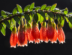 Agapetes sp. (H Richard Ellis) Tags: agapetes flowers backlighting backlit cu greenhouse cugreenhouse