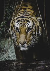 The Strong Silent Type (Paul E.M.) Tags: tiger sdzoo carnivore predator stripes color cat feline malayan