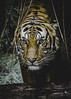The Strong Silent Type (Paul E.M.) Tags: tiger sumatran sdzoo carnivore predator stripes color cat feline