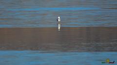 A-LUR_5956 (ornessina) Tags: gabbiano natura lago di chiusi ornessina aironi byrd