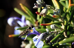 Hoverfly on (blessed) rosemary (TJ Gehling) Tags: insect diptera fly syrphidae hoverfly plant herb rosemary ohlonegreenway elcerrito