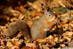 Red Squirrel - Black Isle Scotland. (Ally.Kemp) Tags: red squirrel squirrels scottish scotland highlands wildlife photography hides blackisle