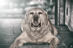 Majestic (Alessandro Giorgi Art Photography) Tags: majestic maestoso statuario cane dog animal selective color colore selettivo animals animale disteso rest riposo portraiture ritratto outspread nikon d7000