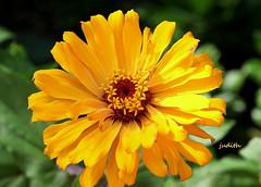 sunshine on a stem --Wanna Be Warmer Wednesday (judecat ( anticipating spring)) Tags: nature zinnia wannabewarmerwednesday