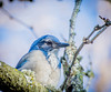 In the Cloud's. (Omygodtom) Tags: outdoors oregon nikkor nikon70300mmvrlens nature blue bird animal scrubjay portrait natural nikon park d7100 flickr wild wildlife