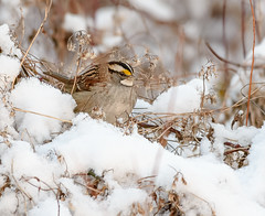 White-throated Sparrow (snooker2009) Tags: whitethroated sparrow bird nature wildlife pennsylvania migration fall spring winter