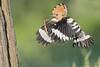 Wiedehopf (Upupa epops) mit Skolopender/Hundertfüßer (Chilopoda) (Schattenjäger) Tags: wiedehopf wiedehopfe upupaepops upupa upupidae hornvögelundhopfe hornvogel hornvögel hopf bucerotiformes vogel vögel aves bird birds bulgaria bulgarien rackenvogel rackenvögel haube federhaube hoopoo eurasianhoopoe hoopoe commoneurasianhoopoe outdoor wildlife wildlifephotography skolopender hundertfüser chilopoda