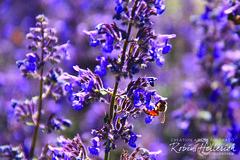 _MG_7902RMH 12.1 CMYK WebisteRGB (creationartistcoPHOTO) Tags: bee animal purple honeybee flower macro wing flight fly