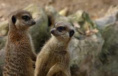 Meerkats (joeke pieters) Tags: 1310388 panasonicdmcfz150 stokstaartje suricatasuricatta meerkat erdmänchen suricate ouwehandsdierenpark rhenen gelderland nederland netherlands holland ngc platinumheartaward