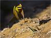 Rainbow bee eater and chicks (beninfreo) Tags: rainbowbeeeater beeeater meropsornatus cicada fly wasp prey insect bird flying flight landing fremantle bibralake westernaustralia australia canon 5d3 5diii 300mml chicks