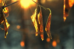 resilient (joy.jordan) Tags: leaves branches trees light sunset texture bokeh winter nature leaf