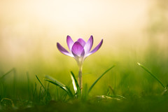 Farewell, Flickr (Stefan (OFF)) Tags: crocus krokus flower beautiful blossom spring frühling life grass green pink violet blume color colour light bokeh dof shallowdepthoffield depthoffield dephtoffield sonya7 sonya7ii canonef7020028lisiiusm 200mm f28 macro proxy