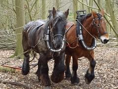 Zeeuwse trekpaarden aan het werk in het bos Eikenoord in Oostkapelle (Omroep Zeeland) Tags: zeeuwse trekpaarden familie zimmerman bos eikenoord oostkapelle demonstratie boomstammen slepen