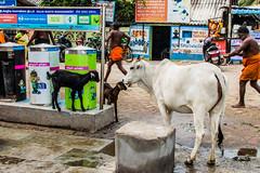 @Agni Theertham,Rameswaram. (vjisin) Tags: rameswaram india asia tamilnadu incredibleindia outdoor sea indianocean streetphotography street indianstreetphotography indianculture agnitheertham pilgrims bath soul peace sacred sacredness hinduritual culture cow indianman goat