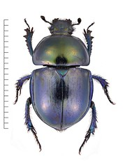 Trypocopris vernalis (Oskar Gran) Tags: coleoptera scarabaeidae scarabbeetle vårtordyvel