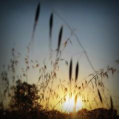 L'éveil (nathaliedunaigre) Tags: aurore sunrise champ field avoine culture céréales soleil sun carré square