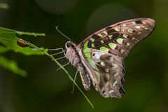 Butterfly Jungle Opens at the San Diego Zoo Safari Park (San Diego Zoo Global) Tags: sandiegozooglobal©2016 animals insects butterfly jungle sandiego travel safaripark nature
