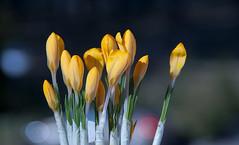 flowers (augustynbatko) Tags: flowers macro spring bokeh nature flower crocus march kwiaty makro wiosna przyroda kwiat krokus marzec blumen zumpatch frühling natur blume märz fiori dipatch primavera natura fiore croco marzo цветы чтобыпатч макро весна боке природа крокус март