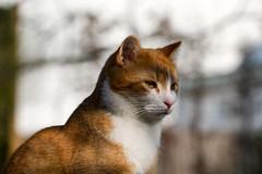 (Vitatrix) Tags: outdoor katze kater jungkater tier animal cat chat gatto getigert