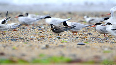 Juvenile Black Tern (Chlidonias niger) coming in off the water to rest - love the dorsal/nape view (Steve Arena) Tags: nikon provincetown massachusetts d750 juvenile tern 2015 racepoint blacktern chlidoniasniger racepointbeach marshtern barnstablecounty blte racepointbeachnorth