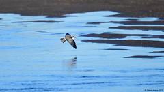 Black Tern (Chlidonias niger ) in flight (Steve Arena) Tags: bird flying inflight nikon provincetown massachusetts flight d750 tern terns 2015 racepoint chlidoniasniger marshtern barnstablecounty blte hatchesharbor flightshot