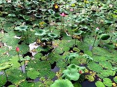 IMG_4067 (singaporeplantslover) Tags: nymphaea   lotus