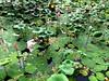 IMG_4067 (singaporeplantslover) Tags: nymphaea 莲花 睡莲 lotus,