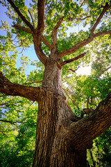 The Majestic Oak (Rob Mintzes) Tags: wood trees summer sky usa tree green history nature leaves forest leaf woods branch branches bark trunk branching
