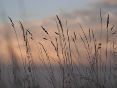 Dans la lumière du soir **--- °-°-° (Titole) Tags: herbes grasses cloud sunset nicolefaton titole explored friendlychallenges thechallengefactory challengegamewinner rockon challengeyouwinner
