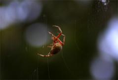 Spider_2015 (2) (d-i-g-i-f-i-x) Tags: bug spider web creepy yuck arachnida thingsmywifereallyhates