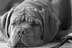 Why so serious? (Martin Werge Nissen) Tags: bw animal maximus doguedebordeaux canonef70200mmf4lisusm